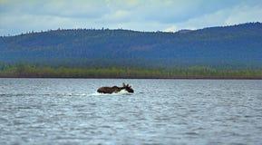 Période de la migration 6 Orignaux croisés au loin au nord de la rivière Photographie stock
