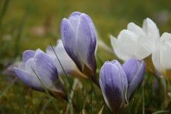 Pérola azul de florescência do chrysanthus do açafrão na mola Fotografia de Stock Royalty Free