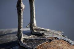 Pés da gaivota de mar Imagem de Stock Royalty Free