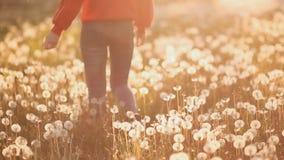 Pés da menina que anda no campo com os dentes-de-leão no por do sol vídeos de arquivo