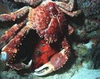 Pés de caranguejo Imagem de Stock