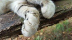 Pés de gato Imagem de Stock Royalty Free