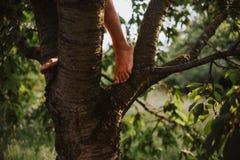 Pés do homem aventuroso novo que escala acima uma árvore de cereja fotografia de stock