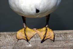 Pés do pato empoleirados em um cais de madeira Fotos de Stock