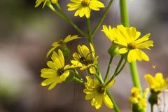 Pés longos do paizinho que descansam em uma flor Foto de Stock