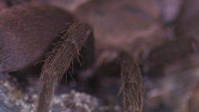 Pés peludos da aranha da tarântula no fim acima filme
