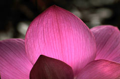 Pétala cor-de-rosa da flor de lótus Foto de Stock Royalty Free