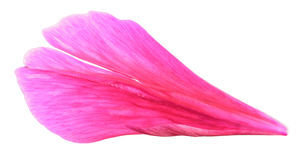 Pétala cor-de-rosa da peônia isolada no fundo branco Foto de Stock Royalty Free