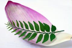 Pétala cor-de-rosa dos lótus e folha verde do caril Fotos de Stock Royalty Free