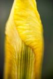 A pétala da flor da íris amarela Imagens de Stock