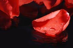 Pétala de Rosa vermelha imagem de stock royalty free