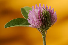 Pétala e folhas verdes e cor-de-rosa do trevo contra o backrgroun alaranjado Imagens de Stock Royalty Free