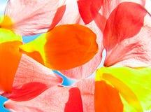 Pétalas alaranjadas e amarelas da flor foto de stock