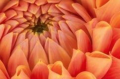 Pétalas alaranjadas, fim ascendente e macro da flor do crisântemo, fundo abstrato bonito foto de stock
