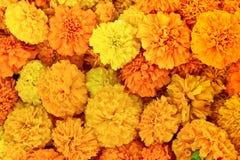Pétalas amarelas bonitas do marigold Fotos de Stock
