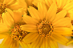 Pétalas amarelas da flor foto de stock royalty free