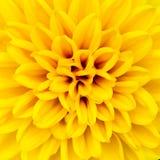 Pétalas amarelas da flor Imagem de Stock