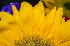 Pétalas amarelas vibrantes do girassol imagens de stock
