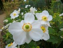 Pétalas bonitas da flor branca dos rockroses do outono imagem de stock
