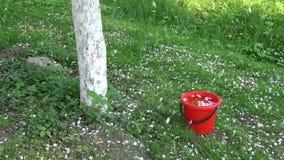 Pétalas brancas da árvore de maçã que caem na mola na cubeta vermelha com água video estoque