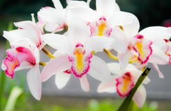 Pétalas brancas da orquídea no jardim Imagens de Stock