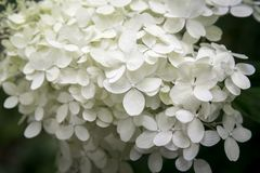 Pétalas brancas delicadas da hortênsia do annabelle no fundo escuro foto de stock