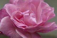 pétalas cor-de-rosa Foto de Stock