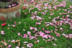 Pétalas cor-de-rosa caídas na grama foto de stock