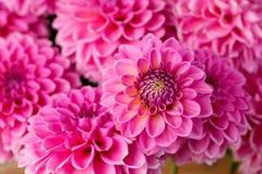 Pétalas cor-de-rosa da dália Imagem de Stock