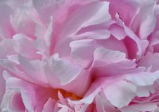 Pétalas cor-de-rosa da peônia Foto de Stock Royalty Free
