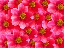 Pétalas cor-de-rosa das flores fotos de stock royalty free