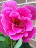 Pétalas cor-de-rosa de uma rosa Fotos de Stock