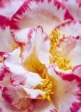 Pétalas cor-de-rosa e brancas fotos de stock royalty free