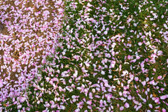 Pétalas cor-de-rosa em gramas Imagem de Stock Royalty Free