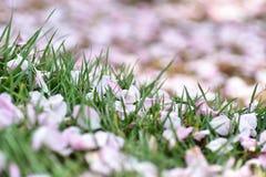 Pétalas cor-de-rosa em gramas Fotografia de Stock Royalty Free