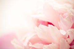 Pétalas cor-de-rosa, macro super Imagem de Stock Royalty Free