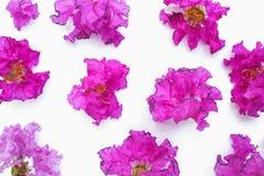 Pétalas cor-de-rosa no fundo branco Imagem de Stock