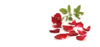 Pétalas cor-de-rosa vermelhas no branco Fotos de Stock