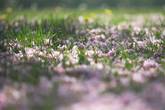 Pétalas da árvore de cereja no sumário da grama Imagens de Stock