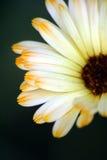 Pétalas da flor imagens de stock royalty free