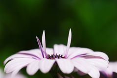 Pétalas da flor do Cineraria imagem de stock royalty free