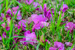 Pétalas da flor na grama Fotografia de Stock