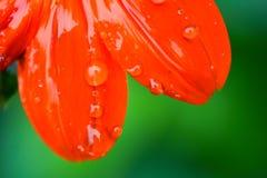 Pétalas da flor vermelha Imagem de Stock