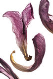 Pétalas da tulipa/alta resolução Foto de Stock Royalty Free