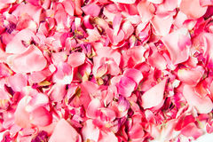 Pétalas de Rosa cor-de-rosa 01 Fotografia de Stock