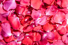 Pétalas de Rosa cor-de-rosa 01 Foto de Stock Royalty Free
