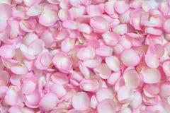 Pétalas de Rosa cor-de-rosa 01 Fundo Imagem de Stock Royalty Free