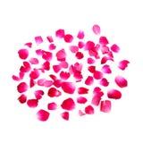 Pétalas de Rosa cor-de-rosa no fundo branco Imagens de Stock Royalty Free