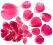 Pétalas de Rosa isoladas Imagens de Stock Royalty Free