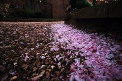 Pétalas de Sakura na estrada imagens de stock royalty free